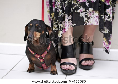 Black Dachshund dog sitting on white floor wearing red leash - stock photo