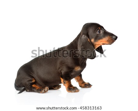 Black dachshund puppy sitting in profile. isolated on white background