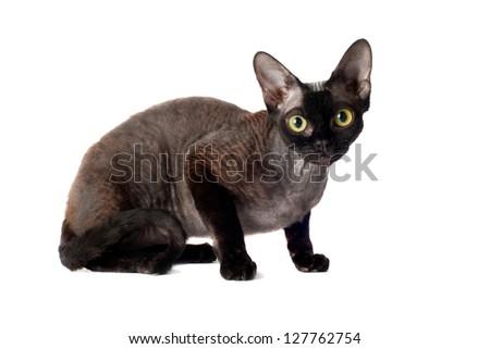 black devon rex cat - stock photo