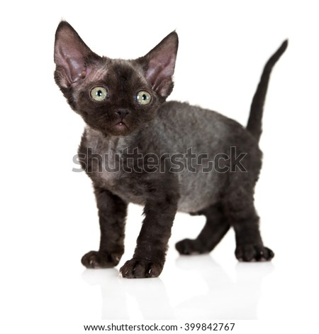 black devon rex kitten on white