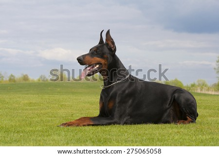 black doberman dog is laying on the grass - stock photo