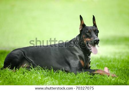 Black doberman pinscher lie on green grass - stock photo