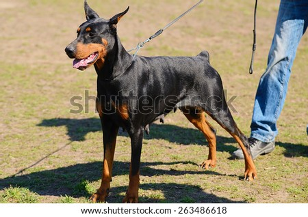 Black Doberman Pinscher with owner in dog school