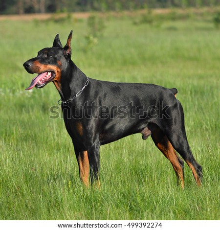 Black doberman standing on green field