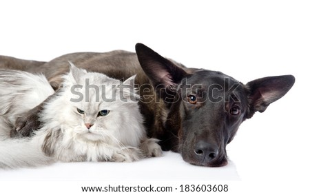 black dog and persian cat lying together. isolated on white background - stock photo