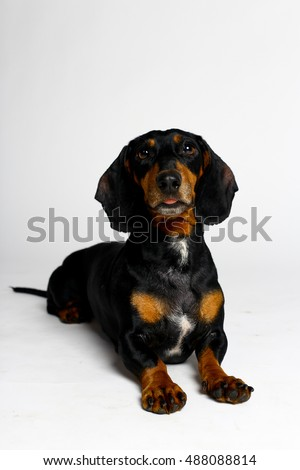 Black dog. dachshund on white background.