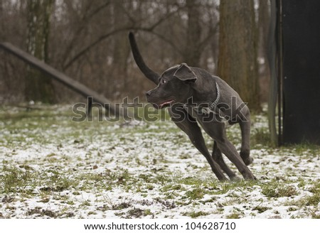 black dog in action at training center - stock photo