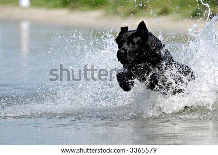 Black dog is jumping in the water. - stock photo