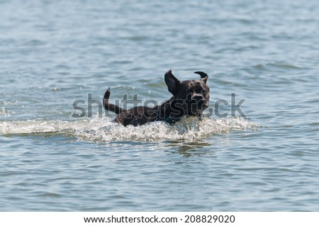 Black dog jumping in the water with ears flapping