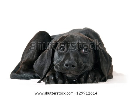 Black dog puppy lay down on isolated white background