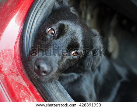 Black dog resting on a car floor with sad look in his eyes. Low  - stock photo