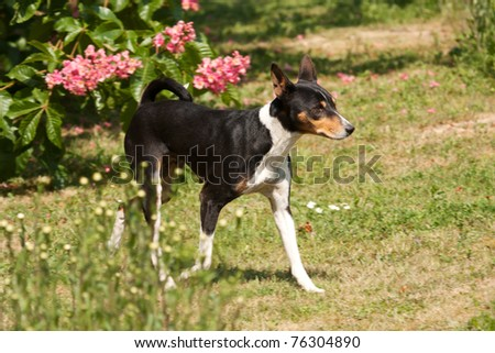 Black dog striding out determinedly among daisy plants