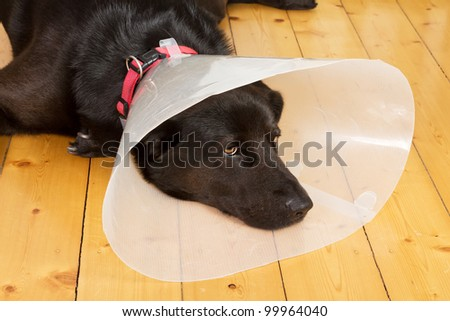 Black dog with a plastic funnel on a wooden floor - stock photo