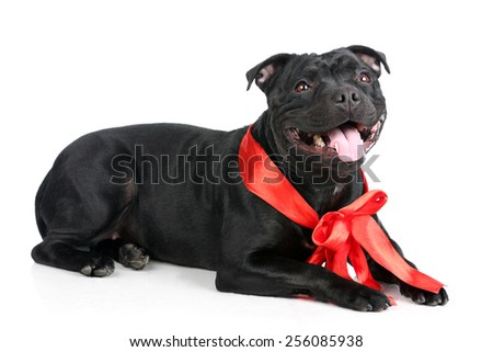 Black dog with a red bow on a white background