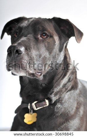 black dog with leather collar being attentive on white background