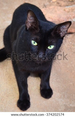 Black domestic cat (Felis catus) sitting on the floor. Superstition. Ailurophobia - fear of cats.