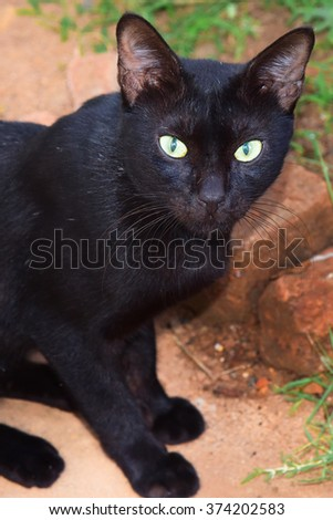 Black domestic cat (Felis catus) staring at you. Ailurophobia - fear of cats.