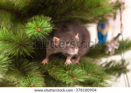 Black domestic rat on a branch of a Christmas tree - stock photo