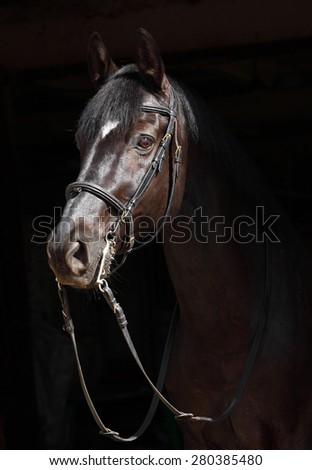 Black dressage horse on dark background - stock photo