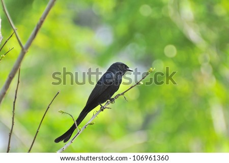 Black Drongo on the tree branch. - stock photo