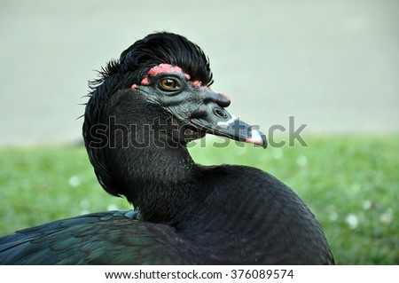 Black duck with a crest on the head close-up. - stock photo