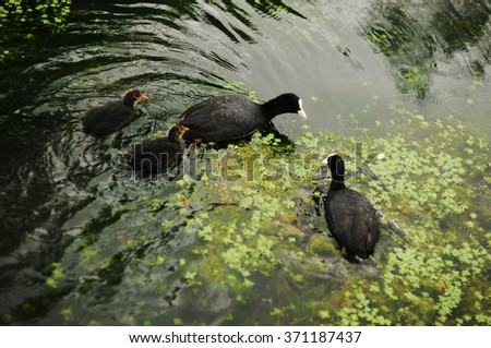 Black ducklings with a duck swimming in the pond among the greenery