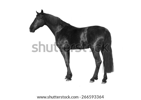 black equestrian powerful horse white isolated - stock photo