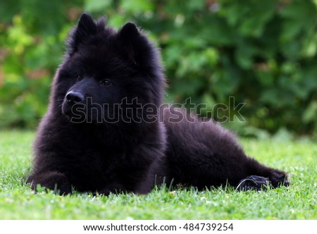 Black Eurasier puppy dog lying on the grass.