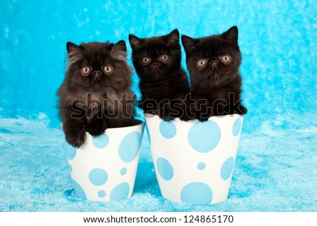 Black Exotic and Persian kittens sitting in blue polka dot containers on blue fake faux fur background - stock photo