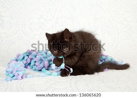 Black Exotic kitten playing eating chewing blue yarn knitting wool on pale blue background