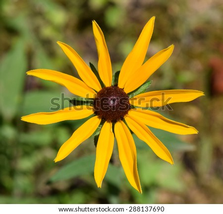 Black-eyed Susan flower in Mississippi - stock photo