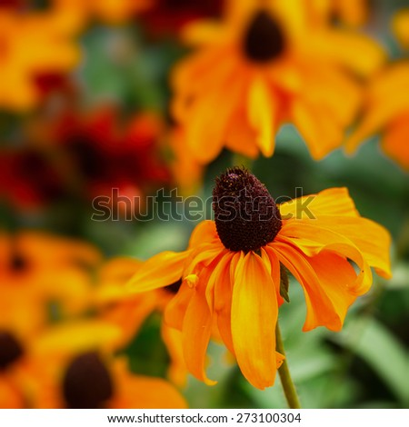 Black Eyed Susan (rudbeckia) flower with an intentional 85mm f1.2 blur. - stock photo