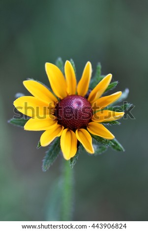 Black Eyed Susan with an extreme shallow depth of field. - stock photo