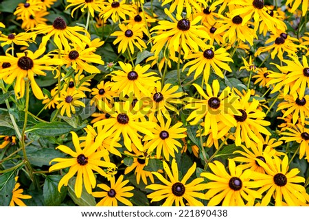 Black-eyed yellow flower as known as rudbeckia - stock photo