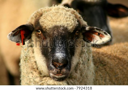 Black Face Suffolk Sheep - stock photo
