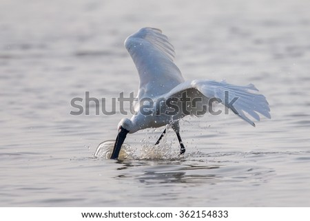 Black-faced Spoonbill catch fish