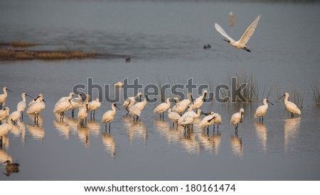 Black-faced Spoonbill in group