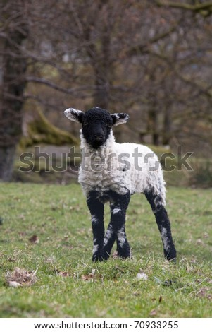 Black faced spring lamb - stock photo
