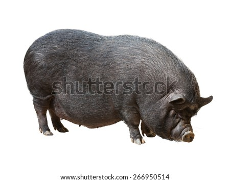 Black farm pig over white background - stock photo