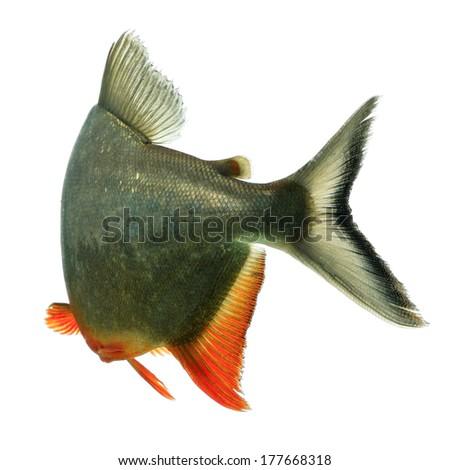 Black finned tambaqui fish tale , studio aquarium shot - stock photo
