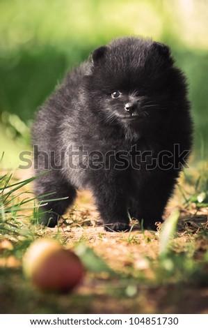 Black fluffy puppy of pomeranian spitz. Dog on green grass in summer park - stock photo