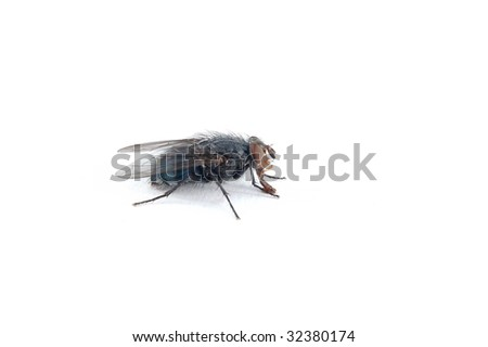 black fly on a white background