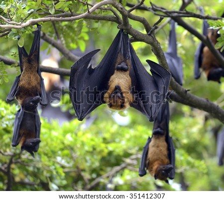 Black flying-foxes (Pteropus alecto) hanging in a tree
