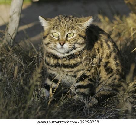 Black footed cat (Felis nigripes) - stock photo