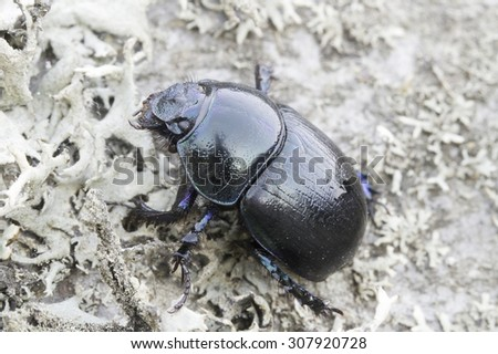 Black Forest dung beetle in natural habitat / Anoplotrupes stercorosus - stock photo
