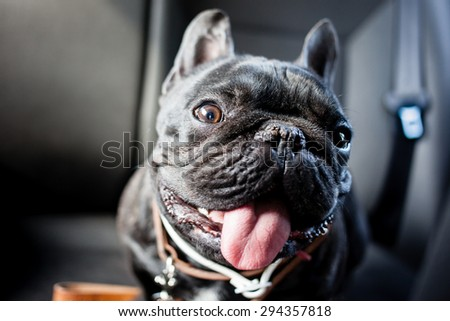 black french bulldog in car - stock photo