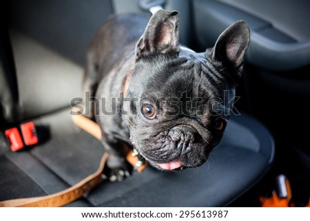 black french bulldog in car