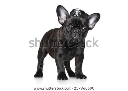 Black French bulldog in carnival pirate hat, on a white background