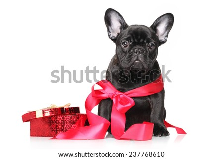 Black French Bulldog puppy in red ribbon with bow sits on a white background - stock photo