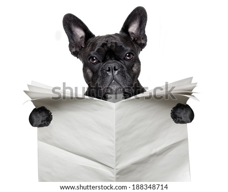 black  french bulldog reading a big blank newspaper - stock photo
